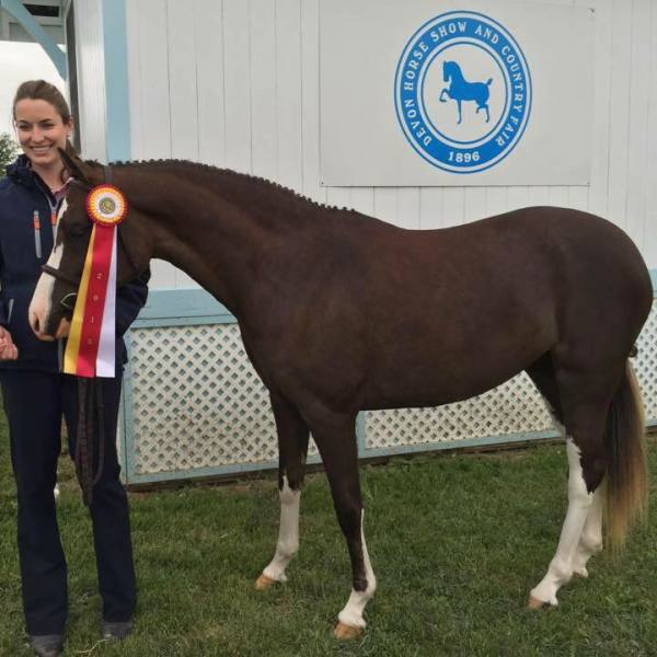 Orchard Hill's Trademark Reserve Best Young Pony at DEVON!